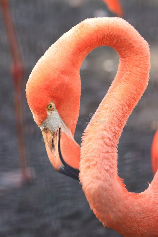 Pink coloured cuban flamingo close-up stock photos