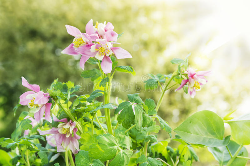 Pink columbine flowers in sunny garden. Floral background stock photos