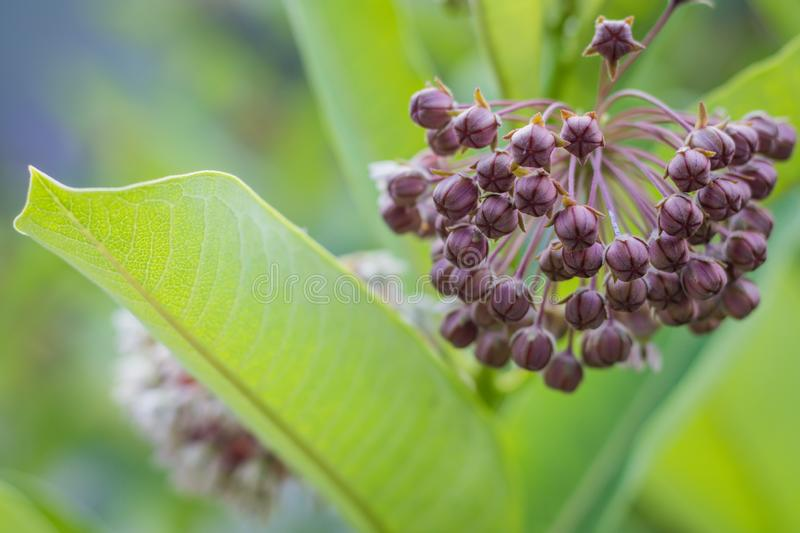 Pink common milkweed, Asclepias, on a summer morning. Pink milkweed, Asclepias, on a summer morning, vital for Monarch Caterpillar survival stock image