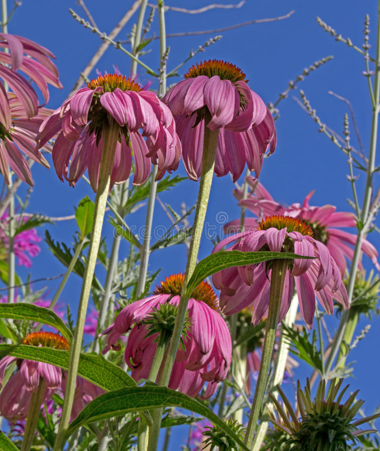 Download Pink Cone Flowers AS Seen From Below Stock Image - Image: 29266149