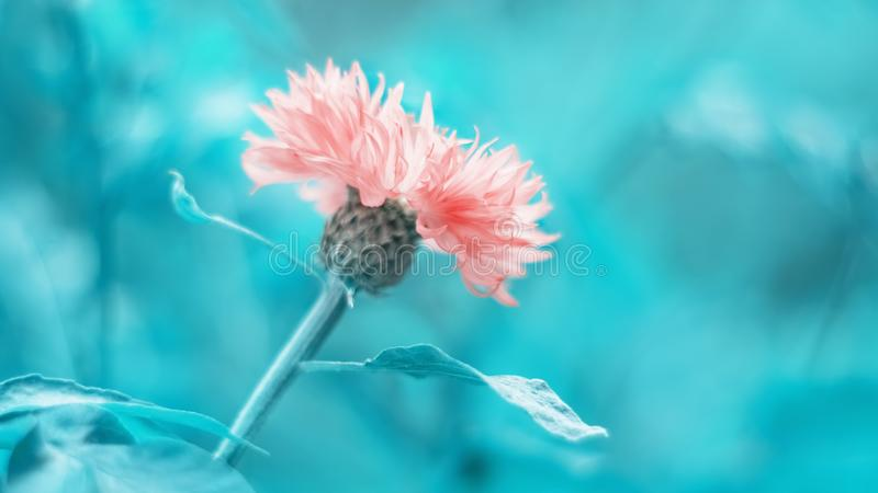 Pink cornflower on a beautiful turquoise toned background. Beautiful spring flower border. Selective focus.  stock photo