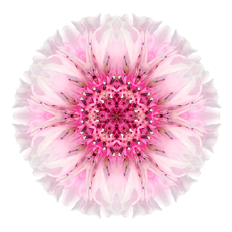 Free Pink Cornflower Mandala Flower Kaleidoscope Isolated On White Stock Photos - 45976613
