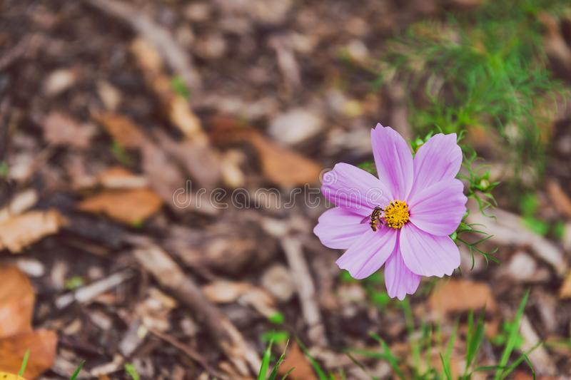 Pink cosmo daisy with bee royalty free stock photo