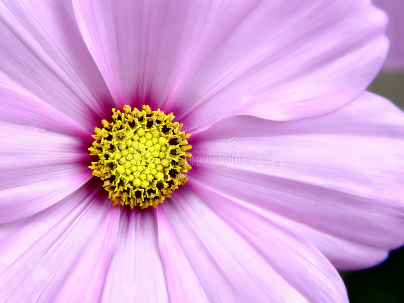 Pink Cosmo Flower. Closeup and in detail stock photos