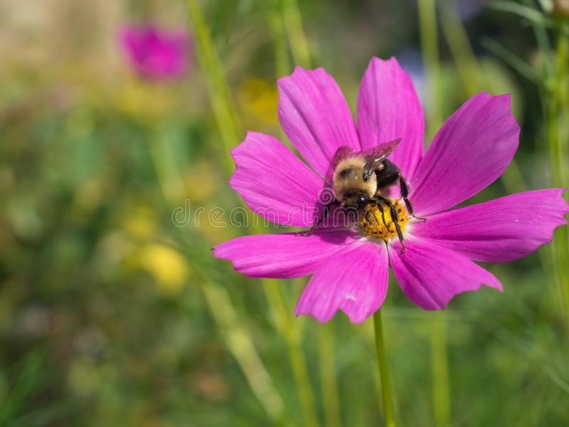 Pink Cosmo flower with bumble bee stock photography