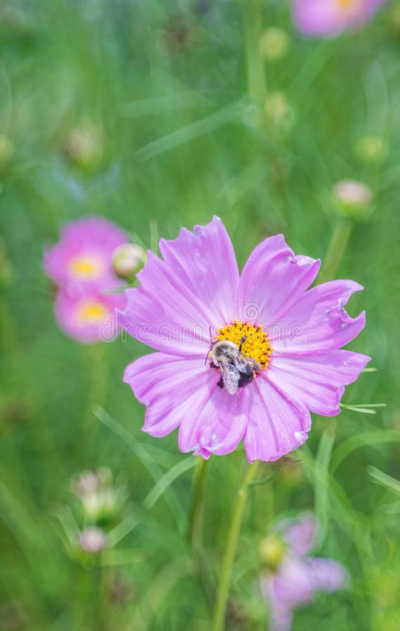 Pink cosmo flower with bumblebee stock images