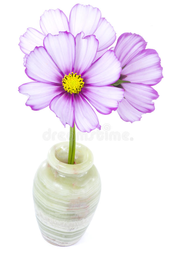 Pink Cosmos royalty free stock image