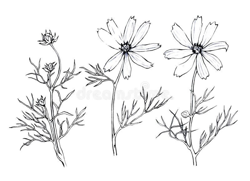 Pink Cosmos bipinnatus, commonly called the garden cosmos or Mexican aster. royalty free illustration