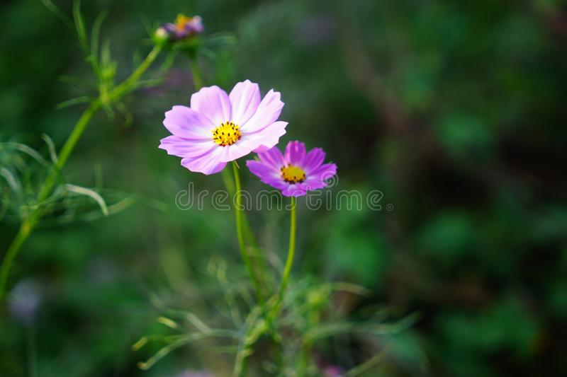 Pink cosmos flower(Galsang flower)in the sunshine. Beautiful cosmos flowers(Galsang flower)in garden are blooming in the stock photography