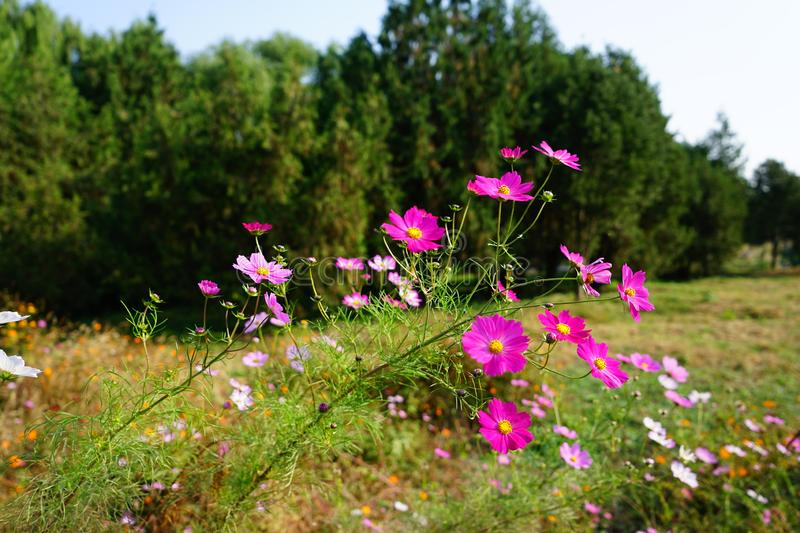 Pink cosmos flower(Galsang flower)in the sunshine. Beautiful cosmos flowers(Galsang flower)in garden are blooming in the royalty free stock images