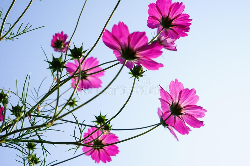 Pink cosmos flower(Galsang flower)in the sunshine. Beautiful cosmos flowers(Galsang flower)in garden are blooming in the royalty free stock photo