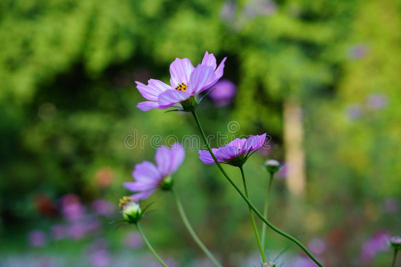 Pink cosmos flower(Galsang flower)in the sunshine. Beautiful cosmos flowers(Galsang flower)in garden are blooming in the royalty free stock image