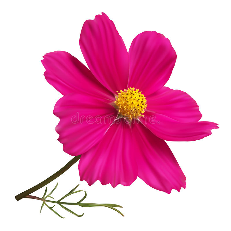Pink cosmos flower stock illustration