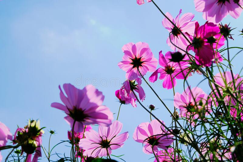 Pink cosmos flower with blue sky and cloud background.  stock images