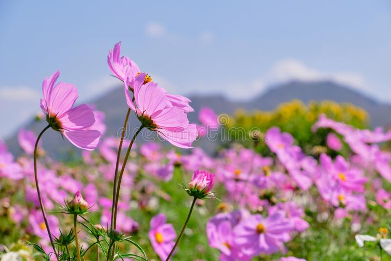 Pink cosmos flower with blue sky and cloud background.  royalty free stock image