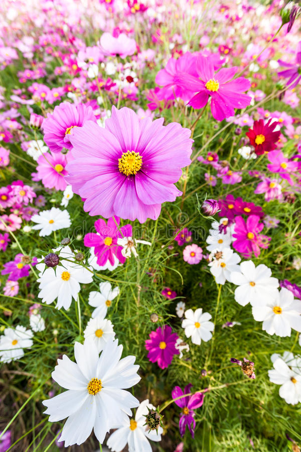 Pink cosmos flower close up. Pink cosmos flower on field close up stock images