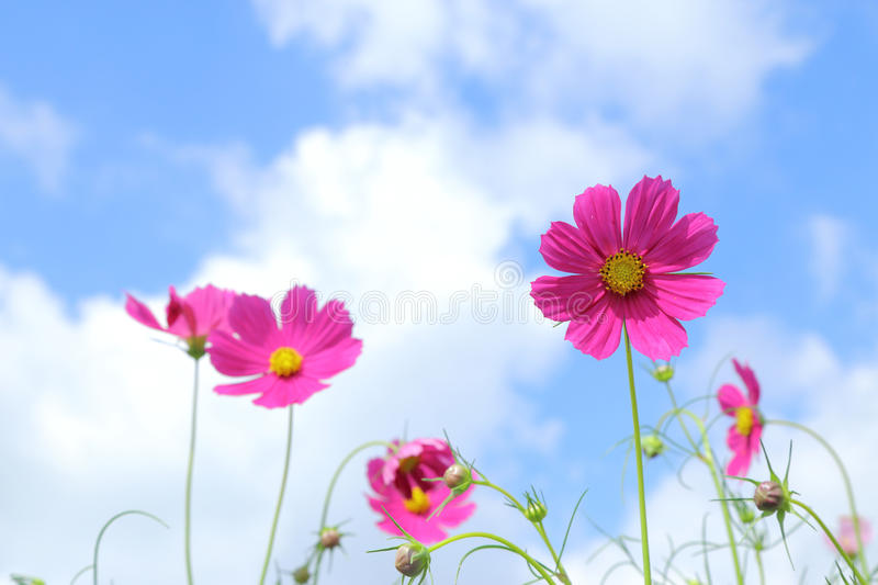 Pink cosmos in flower fields. Pink cosmos in flower fields stock images
