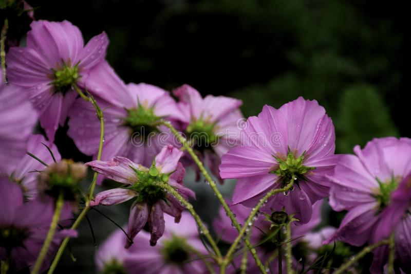 pink cosmos flower in the garden and black background royalty free stock photos