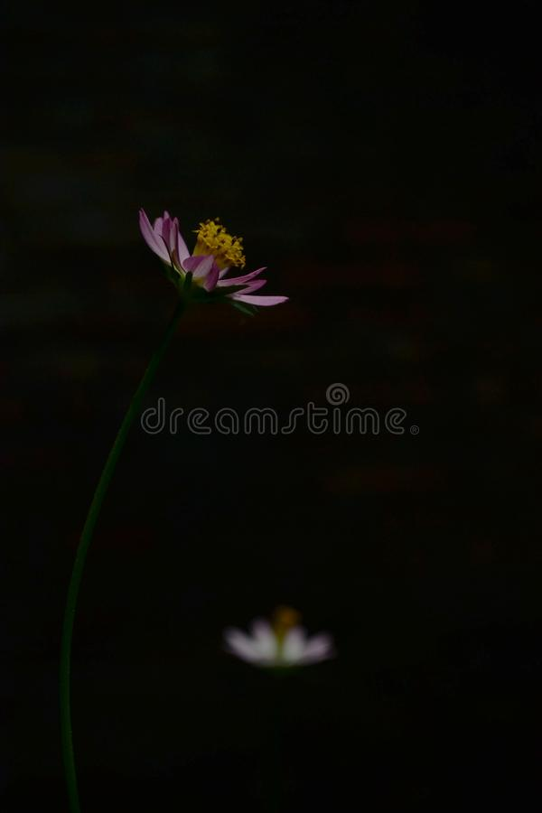 Free Pink Cosmos Flower In Dark Background Royalty Free Stock Images - 165376569