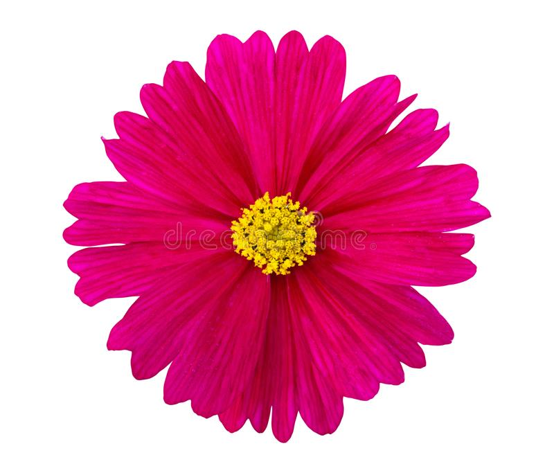 Pink Cosmos flower isolated on white background.  stock photo
