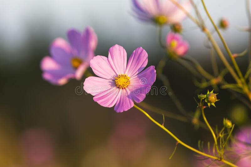 Pink cosmos flower in late afternoon light. South Africa royalty free stock photos