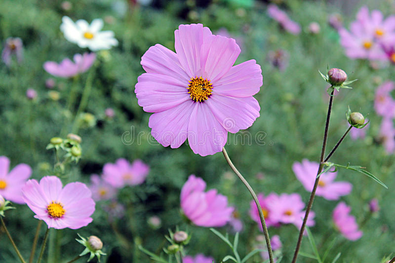 Pink cosmos royalty free stock photo