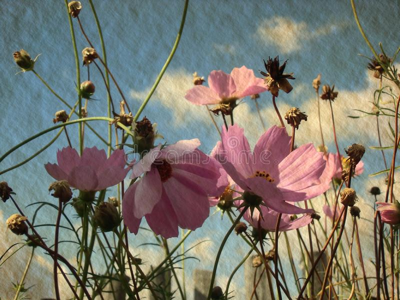 Pink cosmos flowers against blue sky with white clouds. Summer in village. royalty free stock image