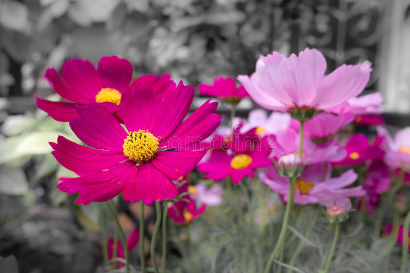 Pink Cosmos flowers with black and white background - pale color royalty free stock photo