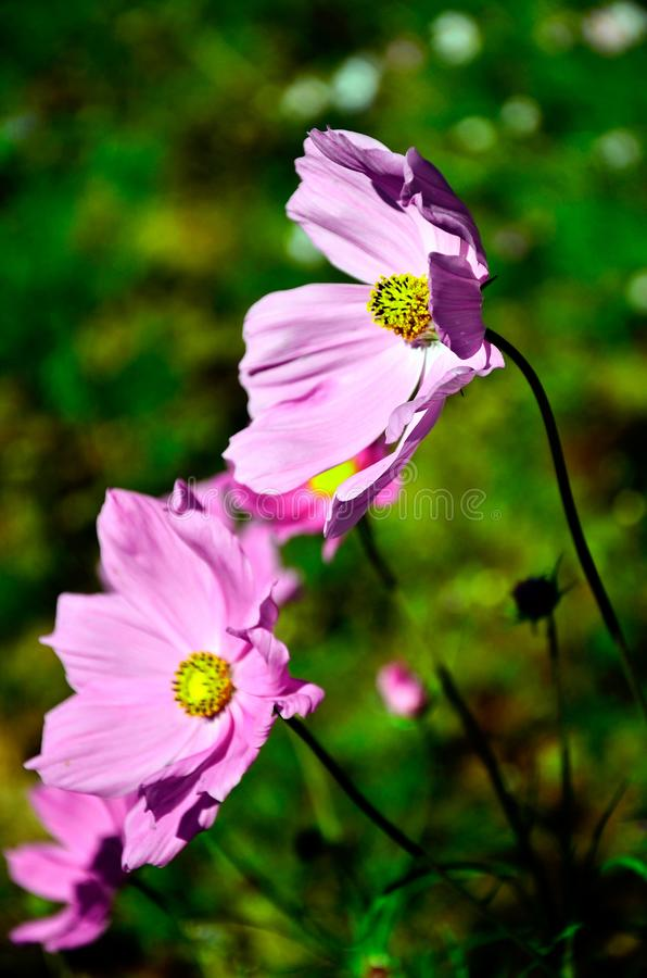 Pink cosmos flowers on the blurry background stock images