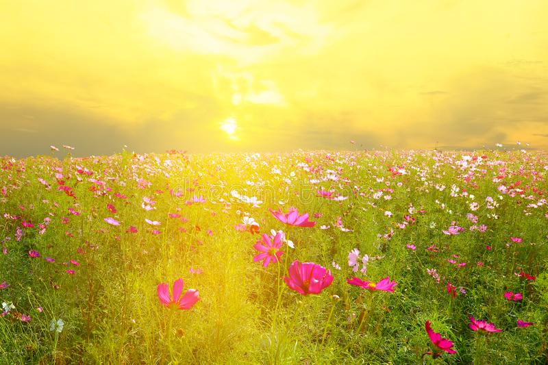 Pink cosmos flowers in golden morning light royalty free stock photo