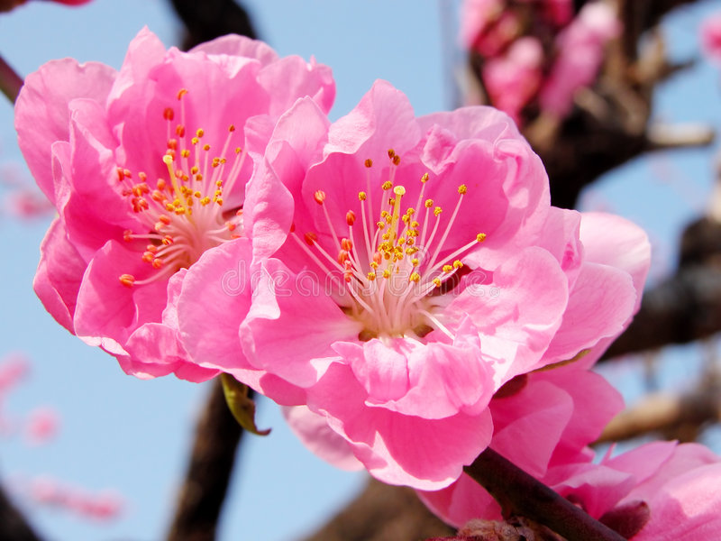 Download Pink couple stock photo. Image of blossoming, blossom, pink - 109004