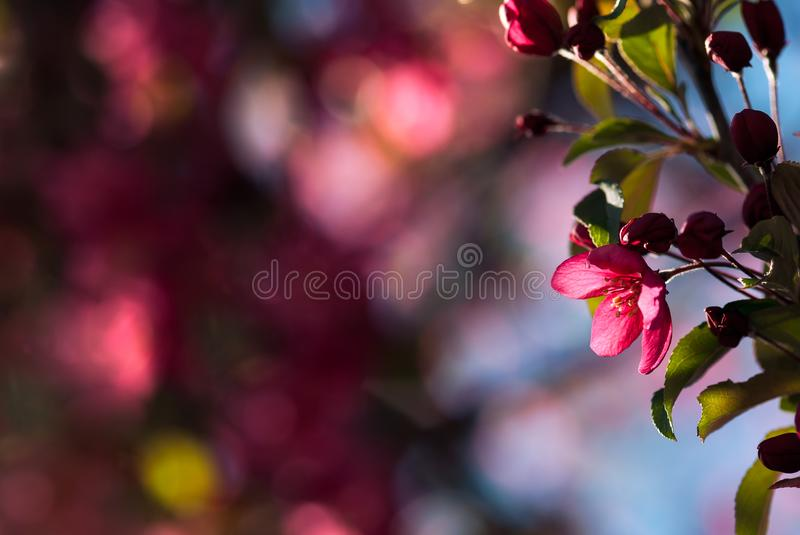 Pink Crab Apple Blossom with Bokeh. A pink crab apple blossom glows in the sunlight of a spring morning stock photography