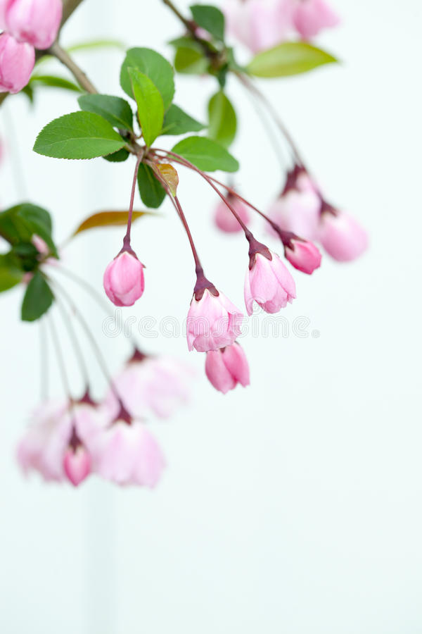 Download Pink Crab Apple Blossoms stock image. Image of pink, closeup - 30258855