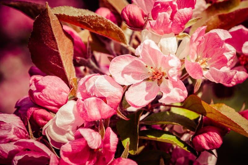 Pink crabapple flowers stock image image of cluster 89758803 download pink crabapple flowers stock image image of cluster 89758803 mightylinksfo