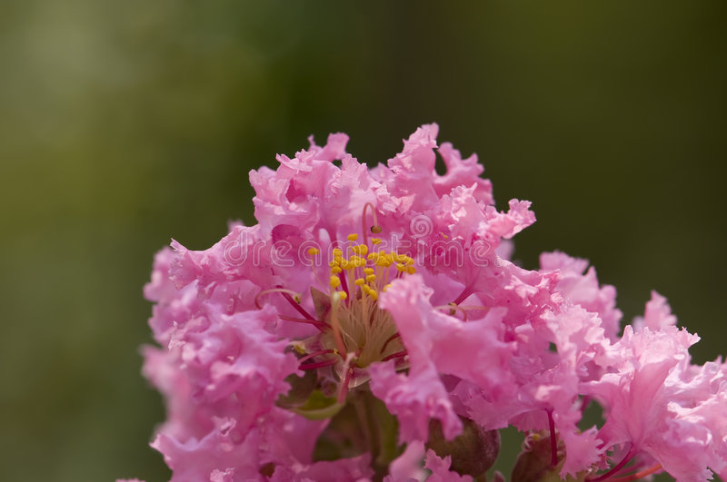 Pink crepe myrtle royalty free stock photography