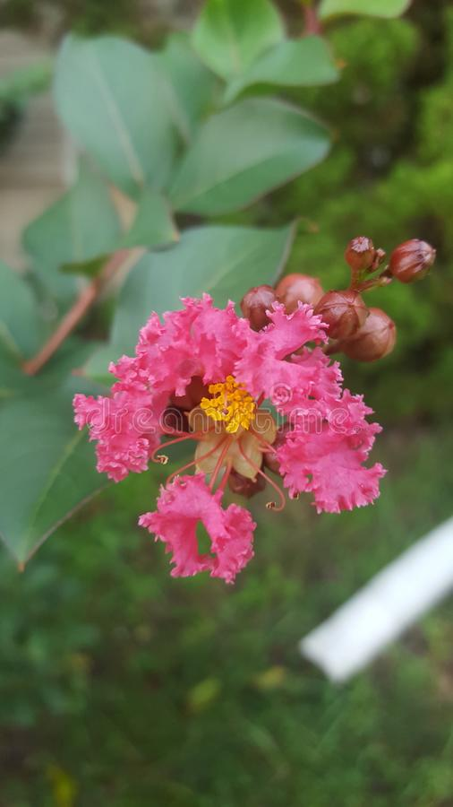 Pink crepe myrtle. Beautiful pink crepe myrtle outside royalty free stock photos