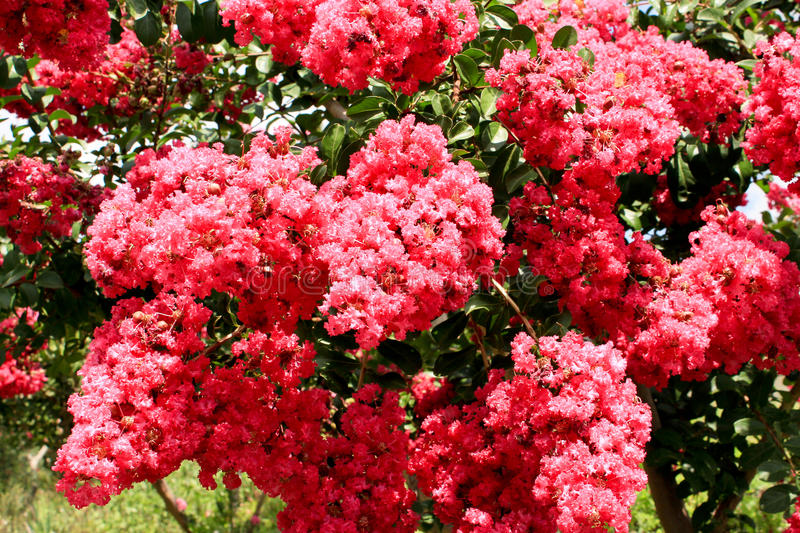 Pink Crepe Myrtle flowers on tree. Clusters of pink flowers on Crepe Myrtle tree royalty free stock photography