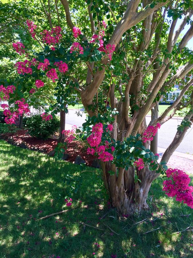 Pink Crepe myrtle tree royalty free stock photos