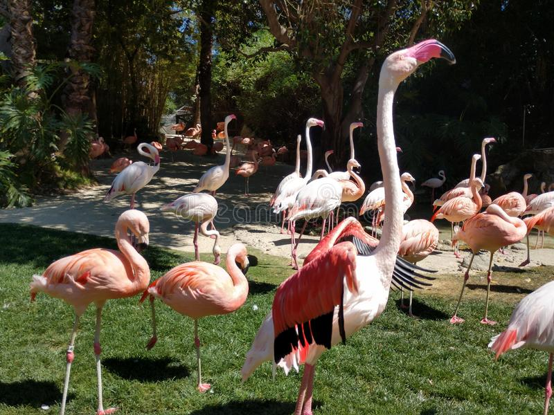 Large Flamingo streches wings in flock on grass at LA zoo royalty free stock images
