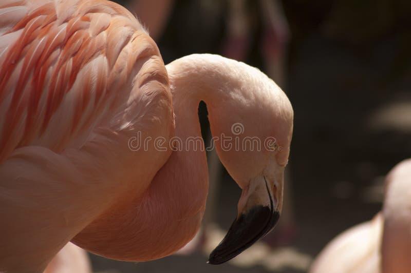 Large beautiful Pink Flamingo with crooked beak at LA zoo stock photos