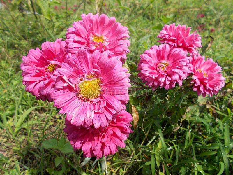 Pink aster crysanthemum mums flowers at plants crysanths royalty free stock photography