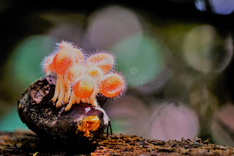Pink cup fungus grow in the wild. A cluster of cup fungus grow on a dead seed in the wild captured eye angle stock photo