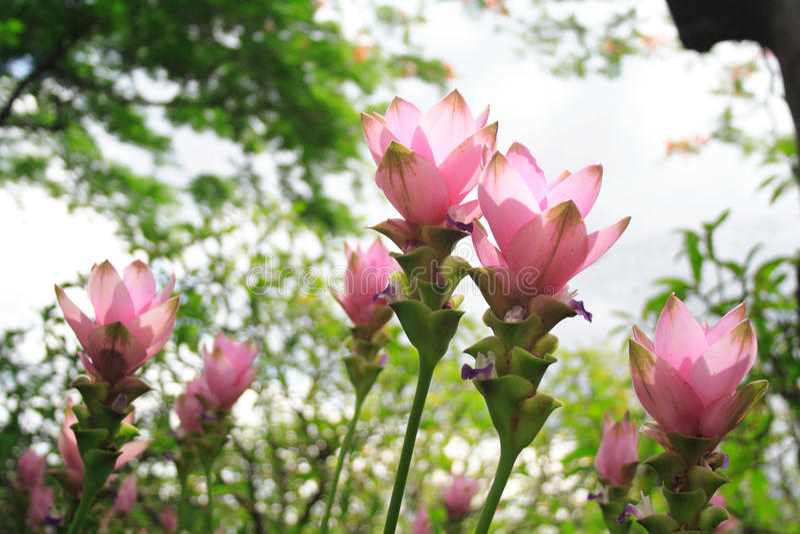 The pink Curcuma Alismatifolia flowers