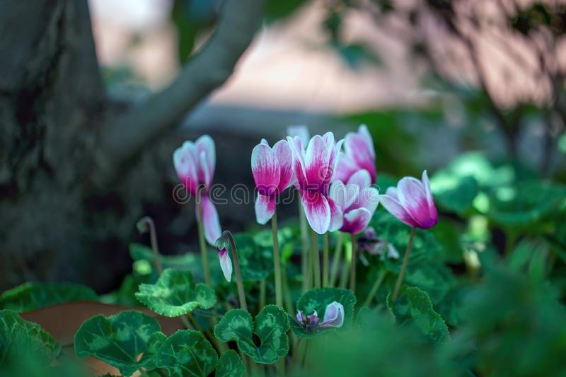 Pink Cyclamen Flowers, is a genus of 23 species of perennial flowering plants in the family primulaceae. royalty free stock photography
