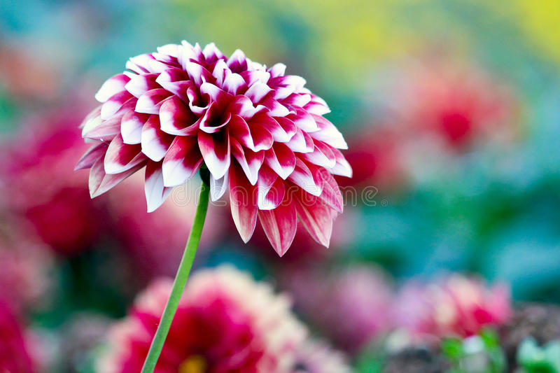 Pink Dahlia stock photos