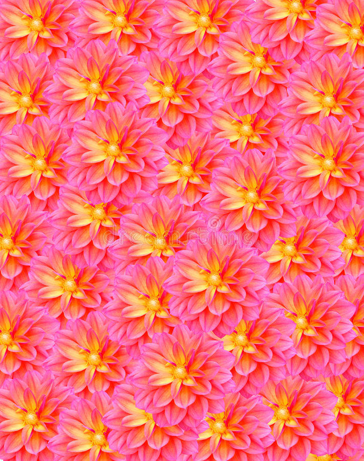 Download Pink Dahlia Royalty Free Stock Images - Image: 28687329