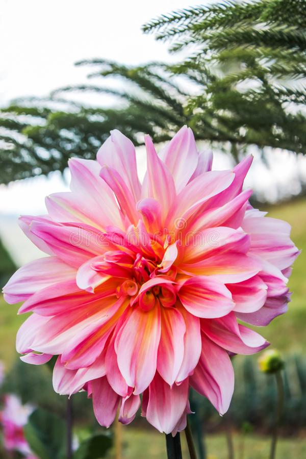 Pink dahlia in autumn flower in botanical garden with green leaves is background stock photography