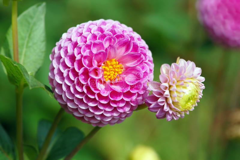 Pink dahlia blossom in summer autumn time. Pink dahlia blossom in summer and autumn time stock images