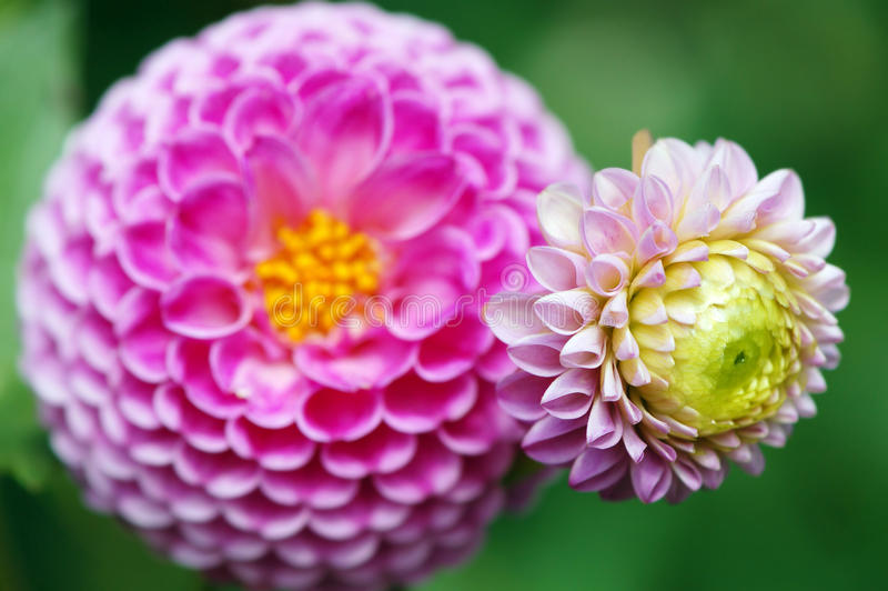 Pink dahlia blossom in summer autumn time. Pink dahlia blossom in summer and autumn time stock image