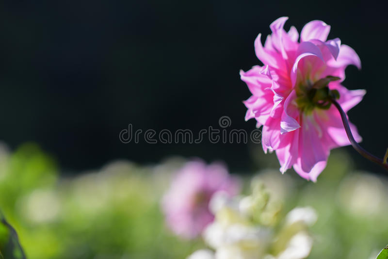 Pink dahlia close up with blurry background stock image